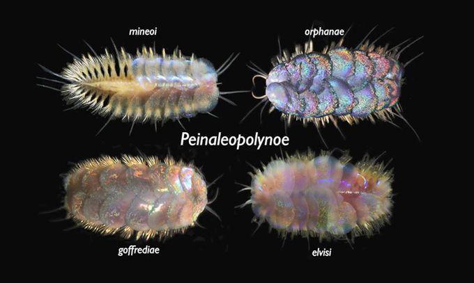 Phát hiện 4 loài giun biển có vảy ánh kim
